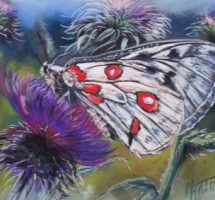 papillon apollon pastel 40x25mars18